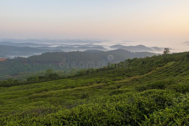 Fondo unico con le foglie di tè e la parte verdi fresche 8 della collina del tè immagini stock