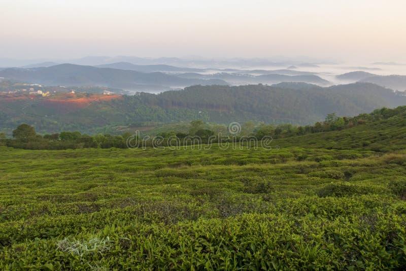 Fondo unico con le foglie di tè e la parte verdi fresche 7 della collina del tè fotografie stock