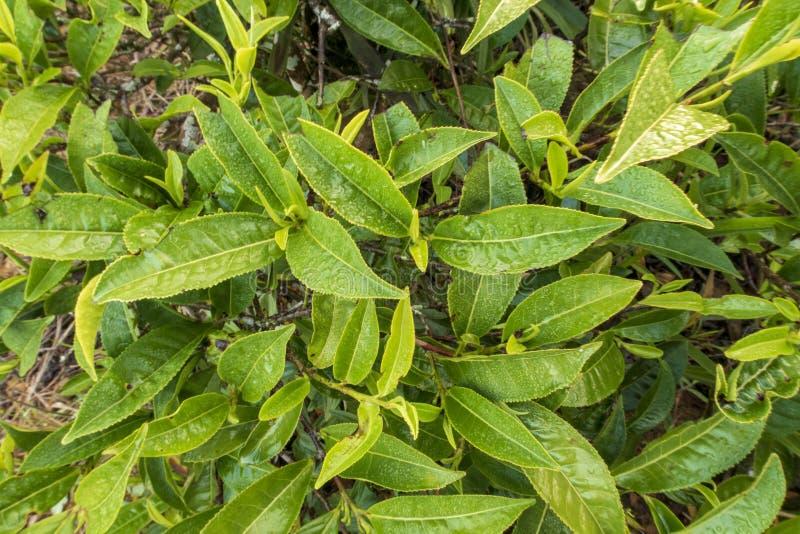Fondo unico con le foglie di tè e la parte 6 verdi fresche della collina del tè immagine stock