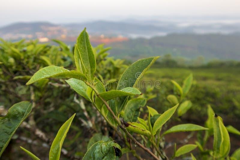 Fondo unico con le foglie di tè e la parte 3 verdi fresche della collina del tè fotografie stock libere da diritti
