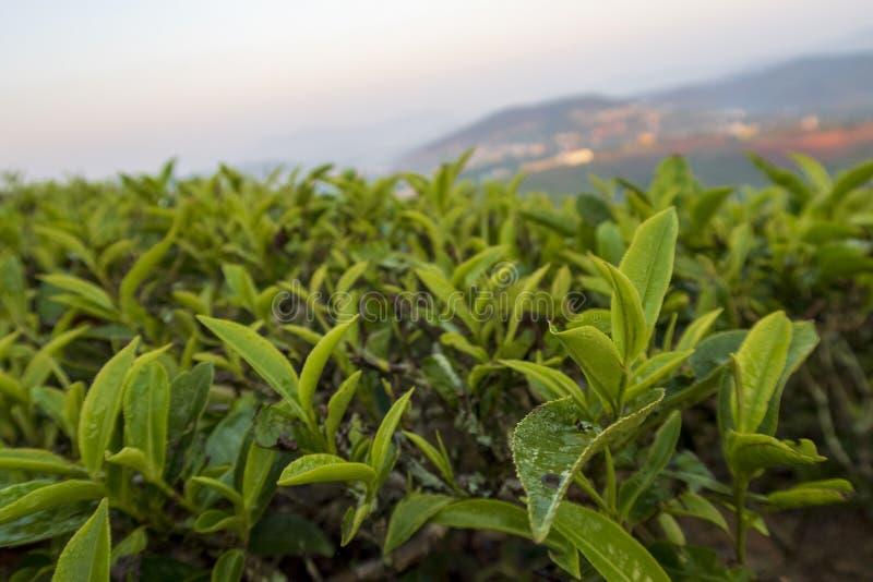 Fondo unico con le foglie di tè e la parte 2 verdi fresche della collina del tè fotografia stock
