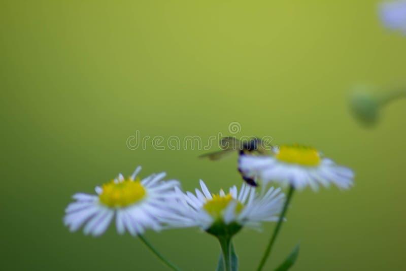 Fondo vago con un verde con protagonista di tre margherite con un piccolo insetto immagini stock