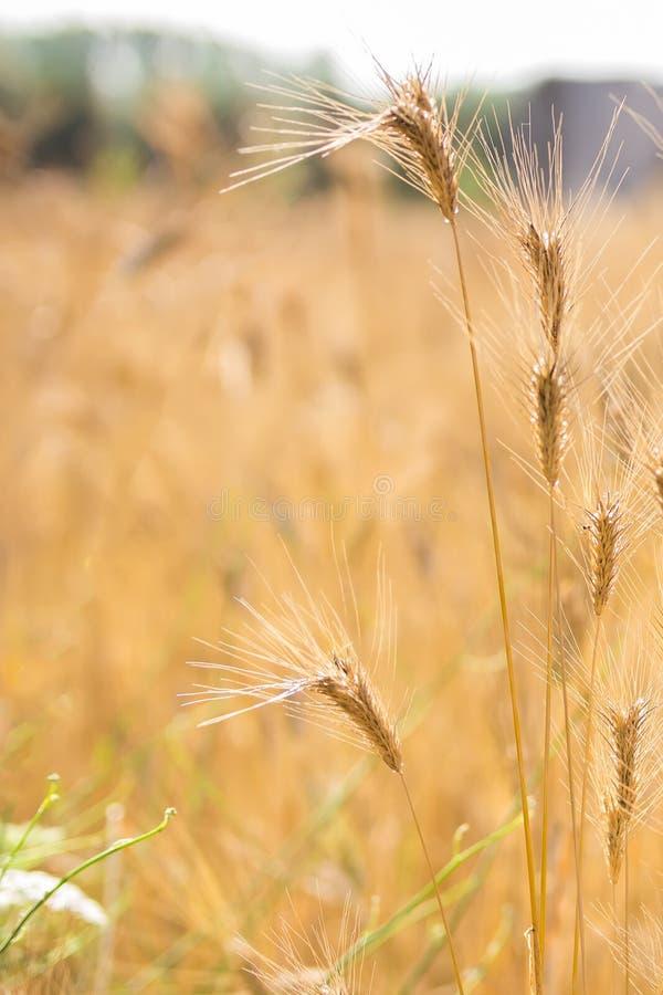 Fondo vago del giacimento di grano Orecchie della fine dorata del grano su Bello paesaggio di tramonto della natura I ricchi rura immagini stock