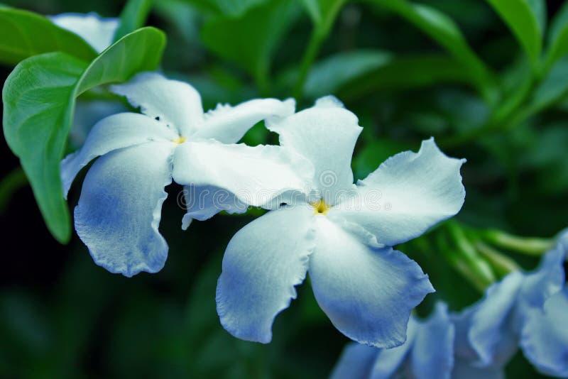 Fondo vago delicato del fiore bianco della vinca fotografia stock libera da diritti