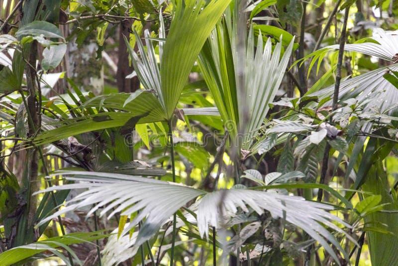 Fondo vago della natura con la flora della foresta pluviale del bacino del Rio delle Amazzoni nel Sudamerica immagini stock