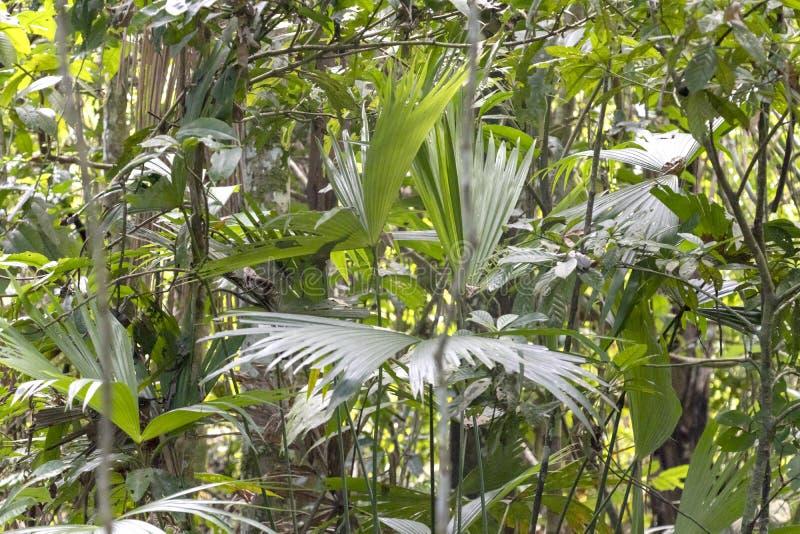 Fondo vago della natura con la flora della foresta pluviale del bacino del Rio delle Amazzoni nel Sudamerica immagini stock libere da diritti