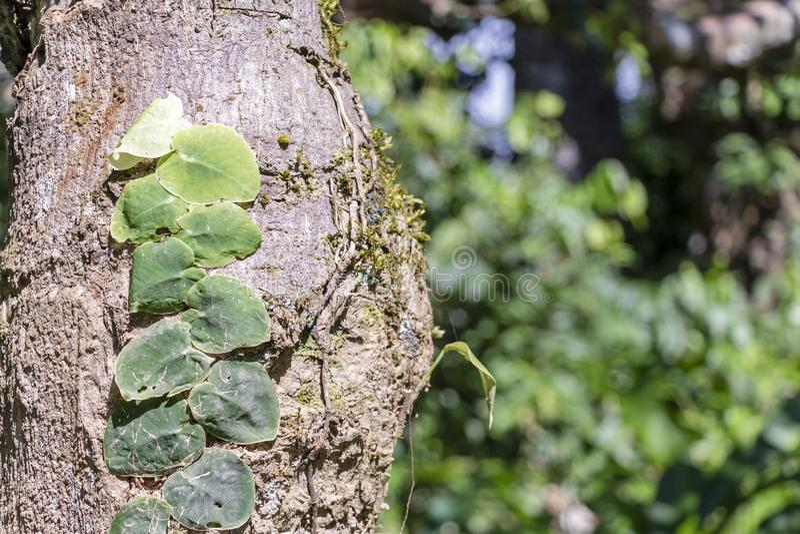 Fondo vago della natura con la flora della foresta pluviale del bacino del Rio delle Amazzoni nel Sudamerica fotografie stock