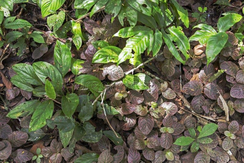 Fondo vago della natura con la flora della foresta pluviale del bacino del Rio delle Amazzoni nel Sudamerica fotografia stock libera da diritti