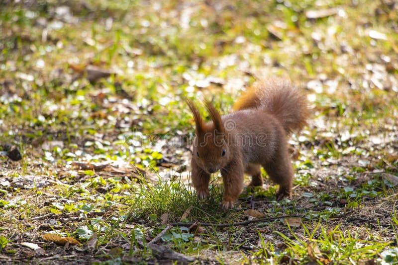 Fondo vago di un parco con erba verde e uno scoiattolo fotografia stock libera da diritti