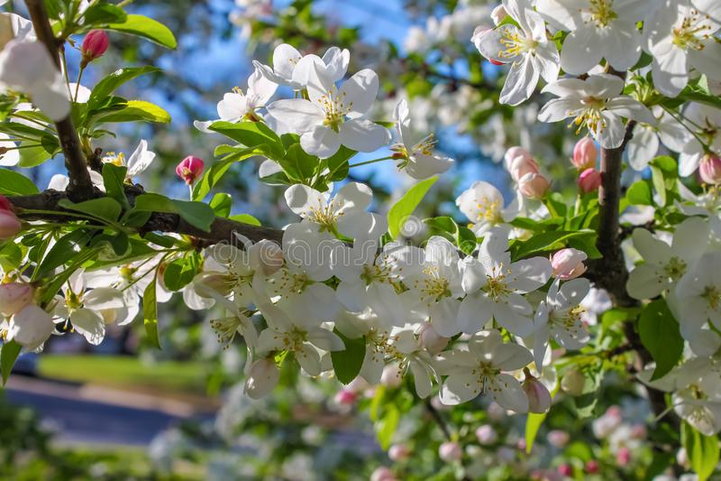Fondo variopinto del fiore di ciliegia - primo piano delle fioriture su un albero immagini stock libere da diritti