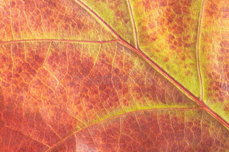 Fondo variopinto della fine del fondo della foglia della quercia di autunno su fotografie stock