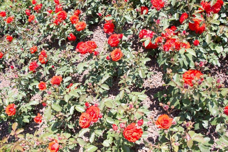 Fondo variopinto di fioritura delle rose fotografia stock libera da diritti