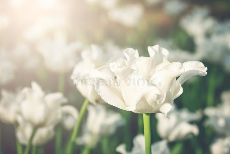 Fondo variopinto luminoso dei tulipani, insegna Bei tulipani del fiore con luce solare e bokeh Cartolina d'auguri di Pasqua della immagine stock libera da diritti