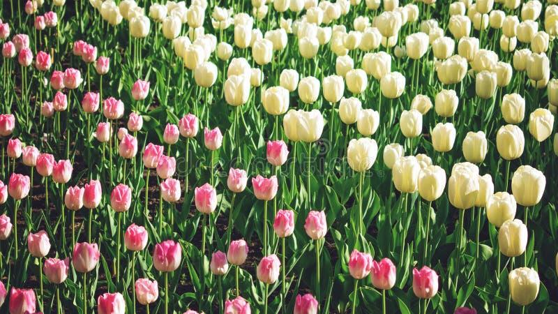 Fondo variopinto luminoso dei tulipani, insegna Bei tulipani del fiore con luce solare e bokeh Cartolina d'auguri di Pasqua della immagine stock