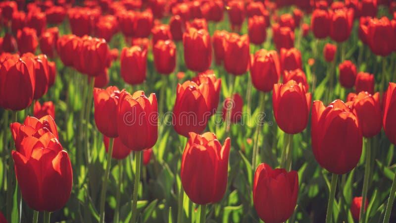 Fondo variopinto luminoso dei tulipani, insegna Bei tulipani del fiore con luce solare e bokeh Cartolina d'auguri di Pasqua della fotografia stock