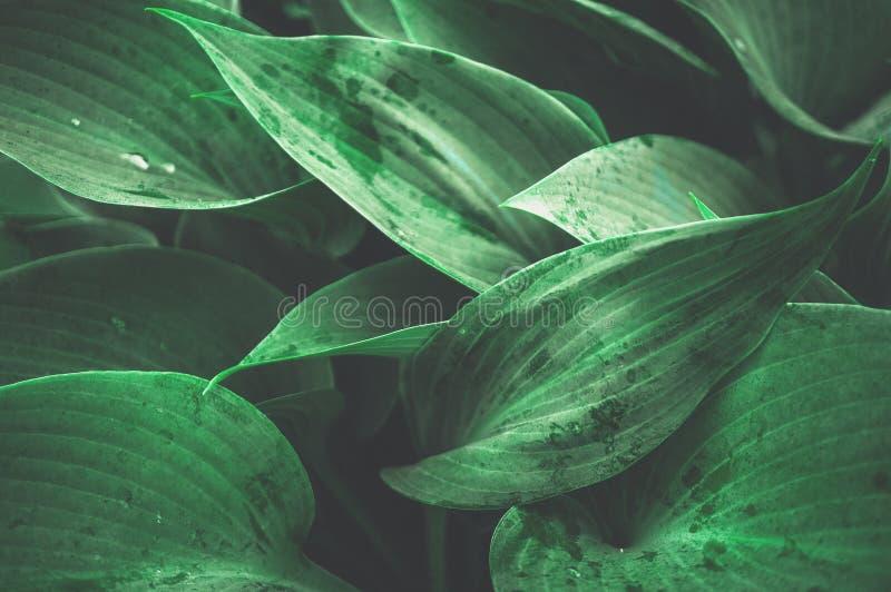 Fondo vegetal hermoso de las hojas del Hosta después de una lluvia wallpaper cerrado foto de archivo