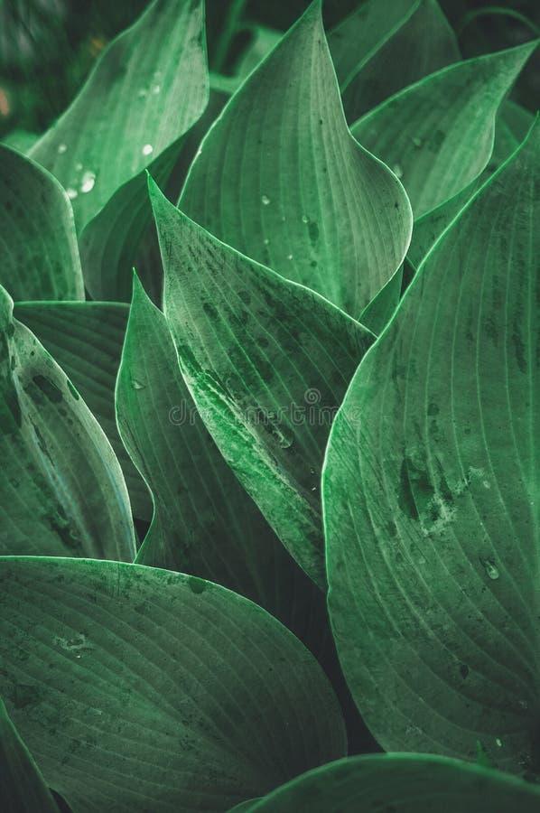 Fondo vegetal hermoso de las hojas del Hosta después de una lluvia wallpaper cerrado fotografía de archivo