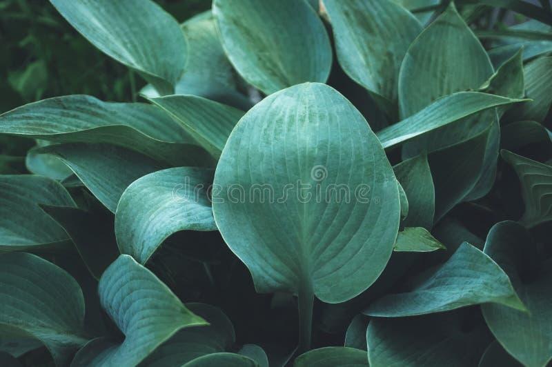 Fondo vegetal hermoso de las hojas del Hosta después de una lluvia wallpaper Cierre para arriba fotos de archivo