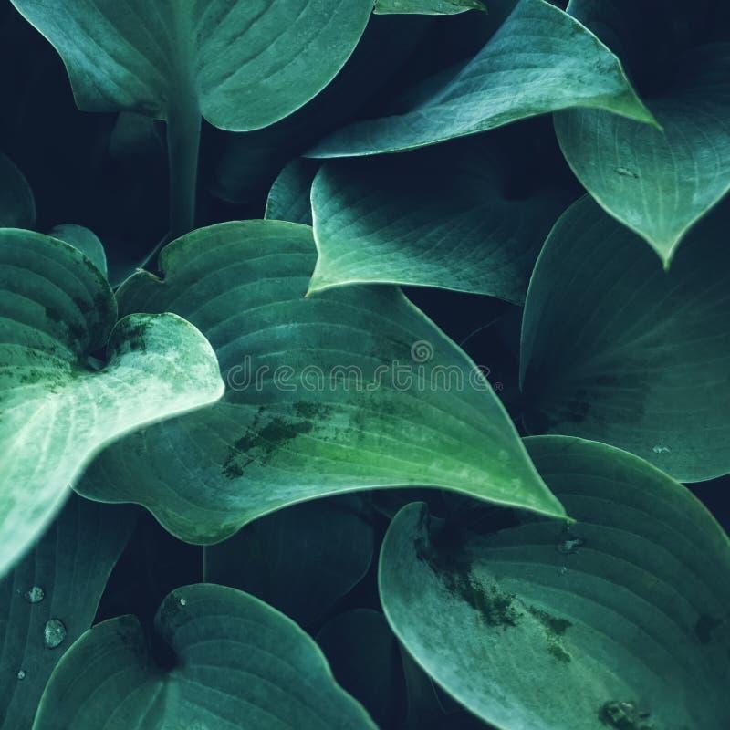 Fondo vegetal hermoso de las hojas del Hosta después de una lluvia wallpaper Cierre para arriba fotos de archivo libres de regalías