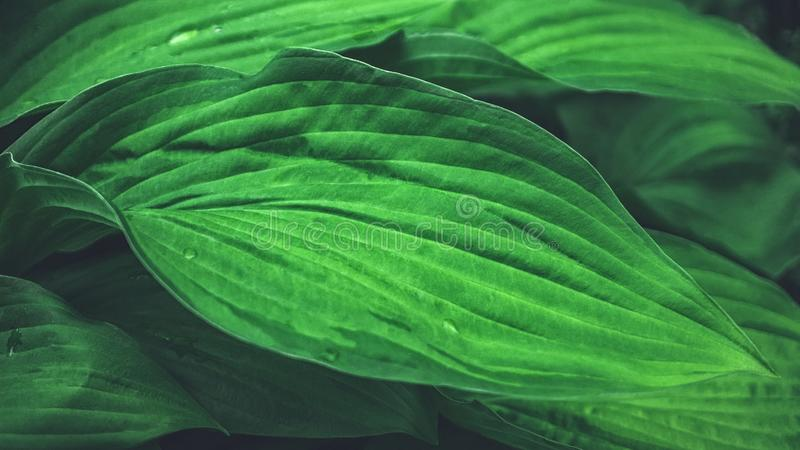 Fondo vegetal hermoso de las hojas del Hosta después de una lluvia wallpaper Cierre para arriba foto de archivo libre de regalías