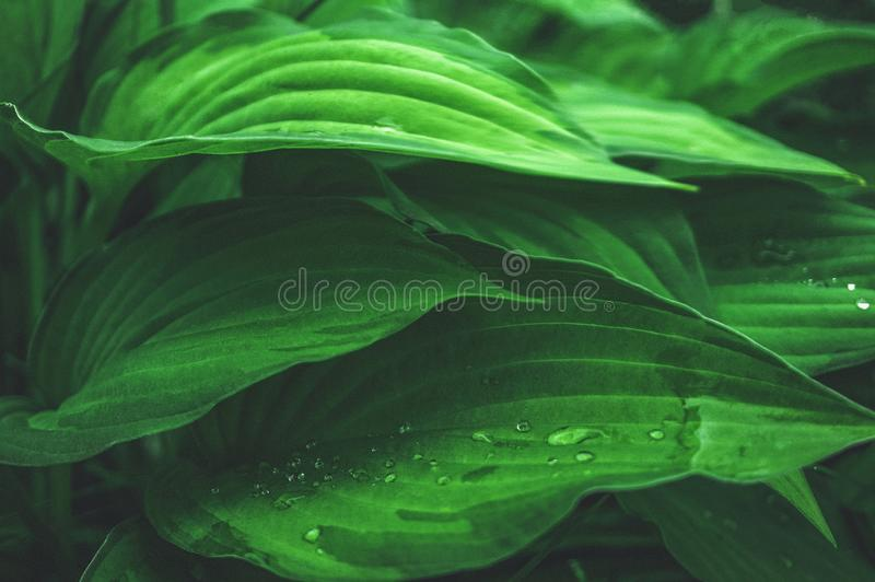 Fondo vegetal hermoso de las hojas del Hosta después de una lluvia wallpaper Cierre para arriba imágenes de archivo libres de regalías