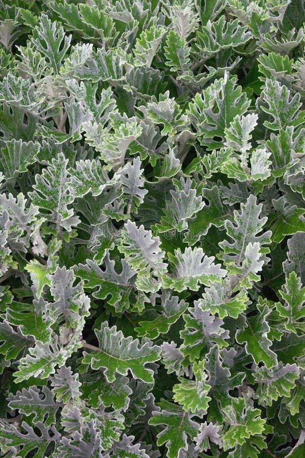 Fondo vegetativo decorativo Fogliame della pianta di Dusty Miller immagine stock