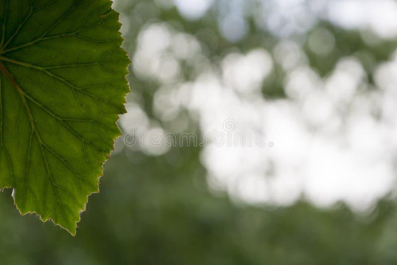 Fondo verde blanco del bokeh con un pasto contorneado veteado palmeado imagenes de archivo