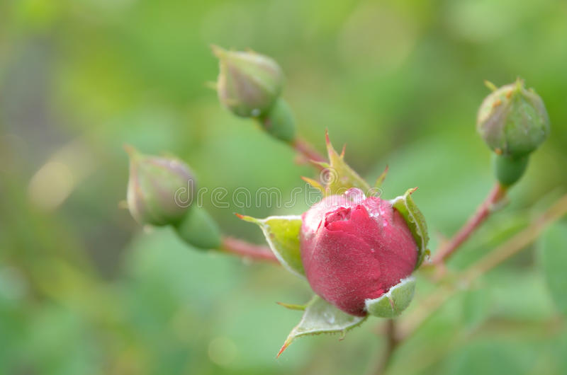 Fondo verde claro abstracto con los brotes de la rosa del rojo imagen de archivo libre de regalías