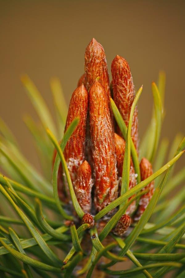 Fondo verde de árbol de pino con los brotes frescos en la primavera foto de archivo libre de regalías