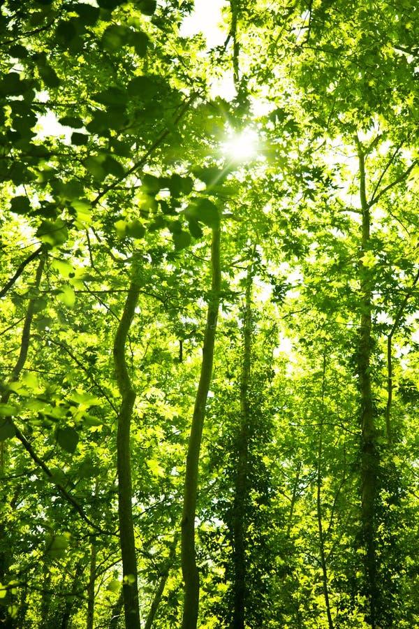Fondo verde de árboles forestales imagenes de archivo