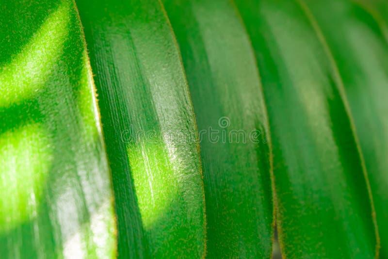 Fondo verde de hojas tropicales Furfuracea del Zamia de la planta fotografía de archivo libre de regalías