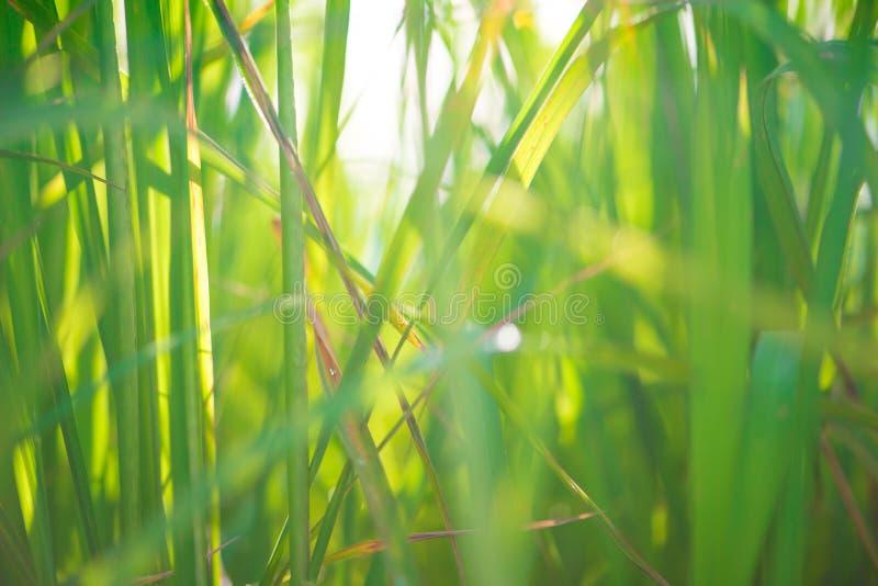 Fondo verde de la hoja del arroz de la falta de definición foto de archivo libre de regalías