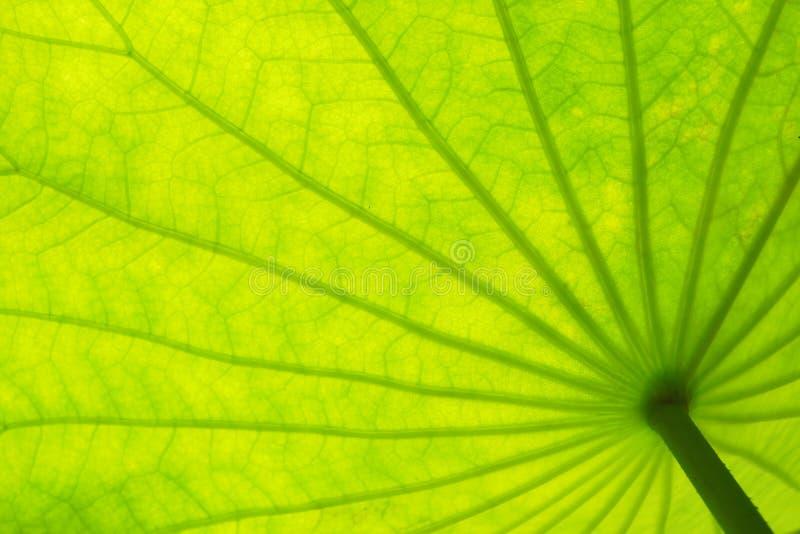 Fondo verde de la textura de las hojas del loto fotografía de archivo libre de regalías