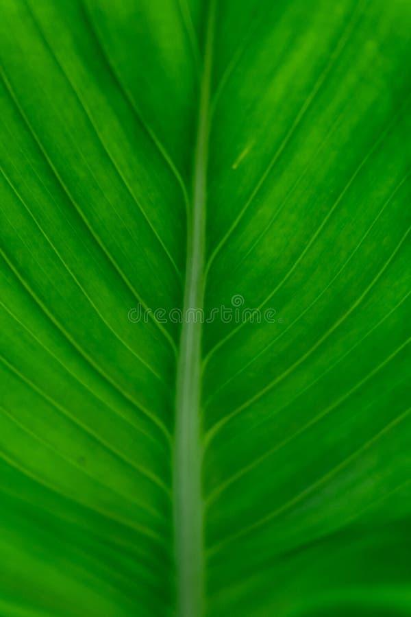 Fondo verde de la textura de la hoja del plátano foto de archivo libre de regalías