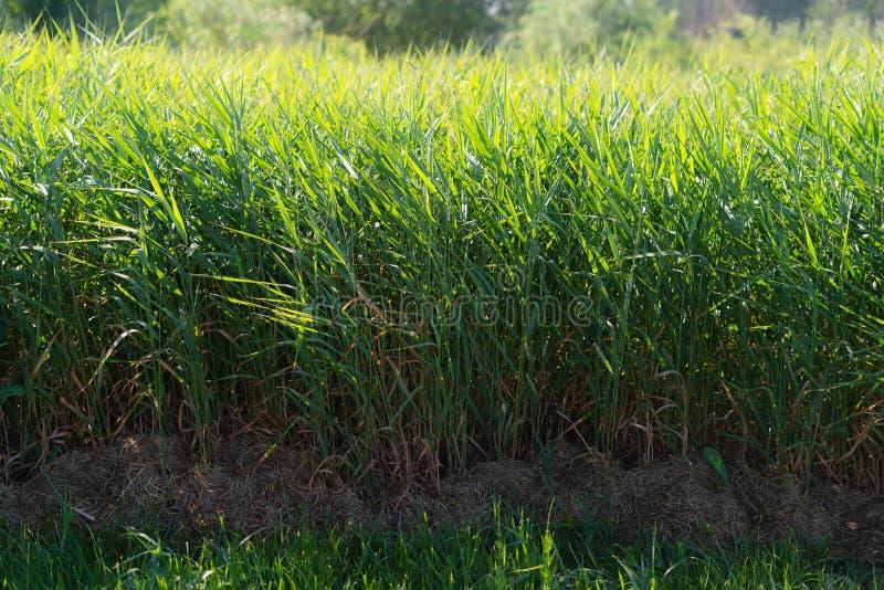 Fondo verde de las precipitaciones de las cañas Maleza del bastón que sopla en el viento Hierba salvaje al lado del agua Penacho  foto de archivo libre de regalías