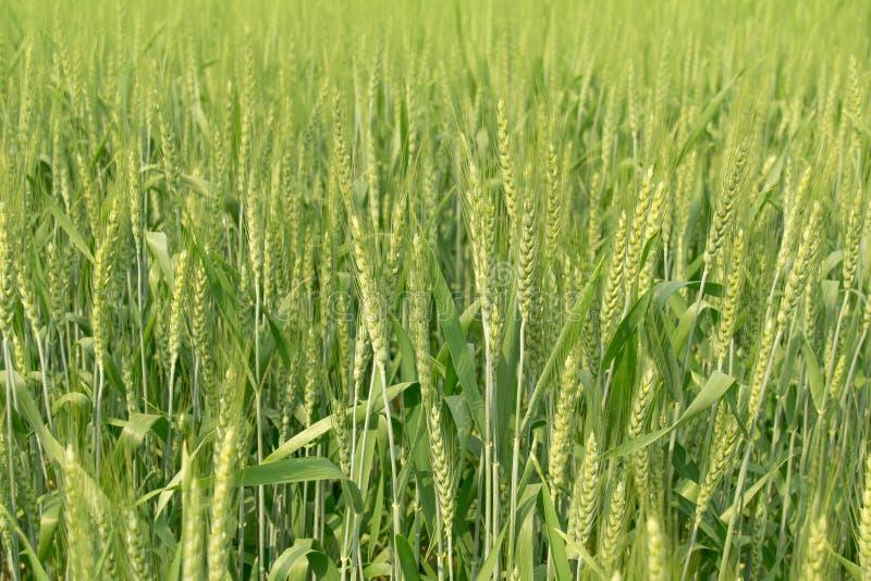 Fondo verde del extracto de la naturaleza del campo de trigo del verano fotos de archivo