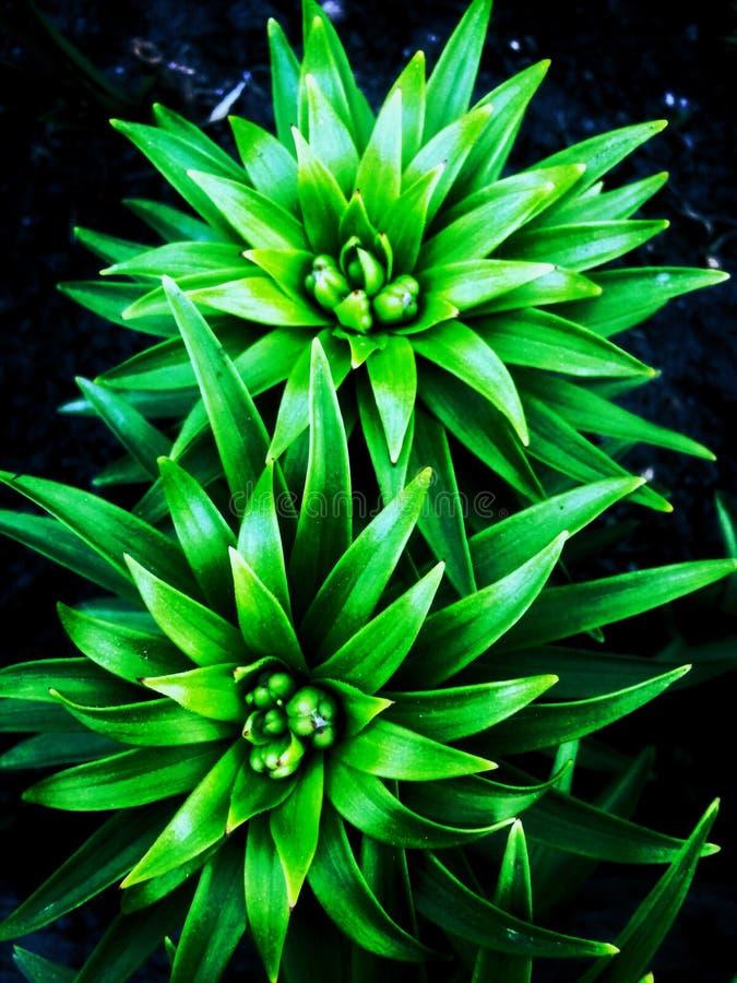 Fondo verde del giglio fotografia stock