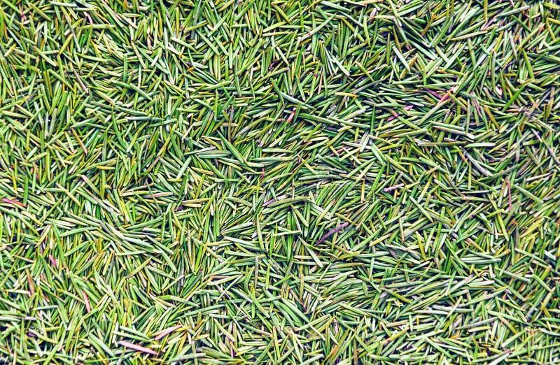 Fondo verde del punto del pino foto de archivo libre de regalías