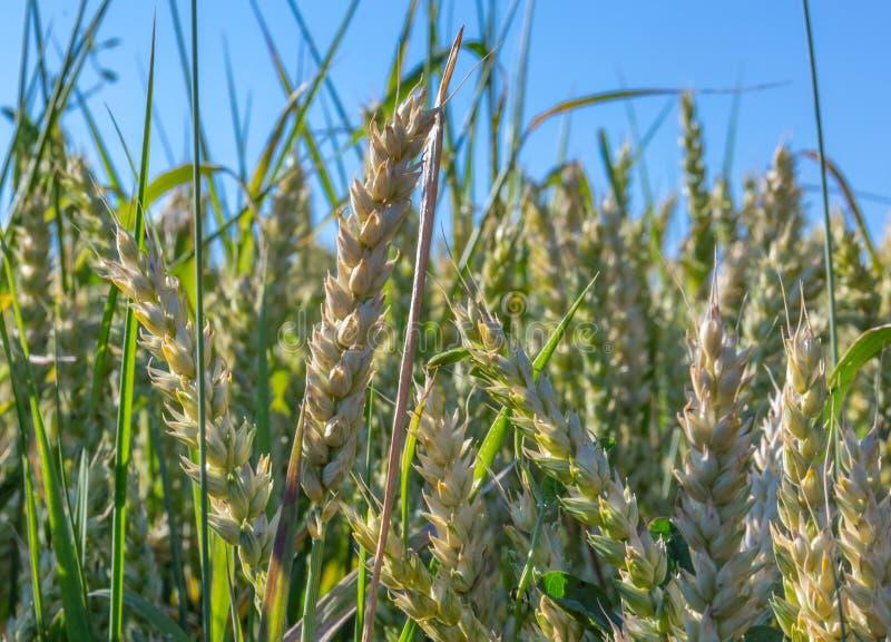 Fondo verde del trigo imagen de archivo