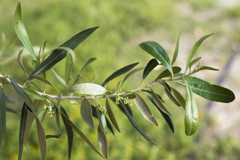 Fondo verde della sfuocatura del fiore di olivo del ramo fotografia stock
