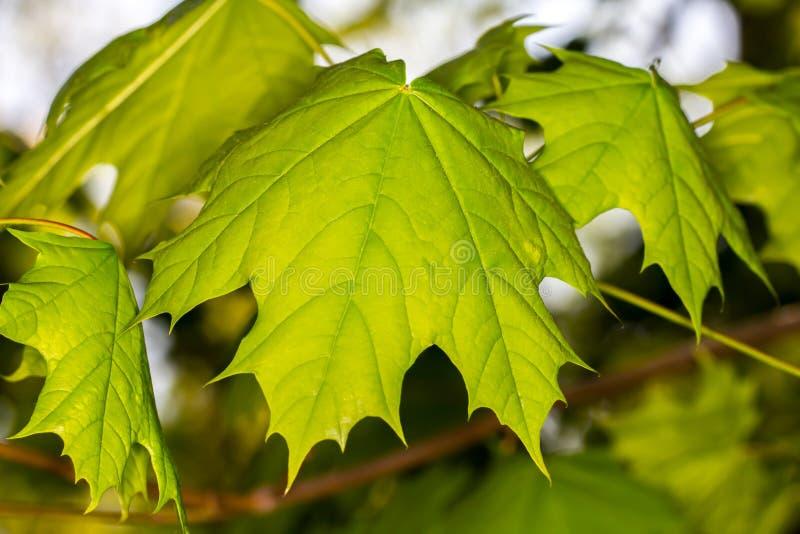 Fondo verde di luce del giorno delle foglie di acero fotografia stock libera da diritti
