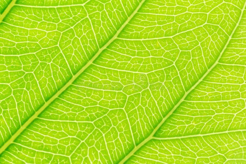 Fondo verde di struttura del modello della foglia con luce dietro per il modello del sito Web, la bellezza di molla, l'ambiente e fotografia stock