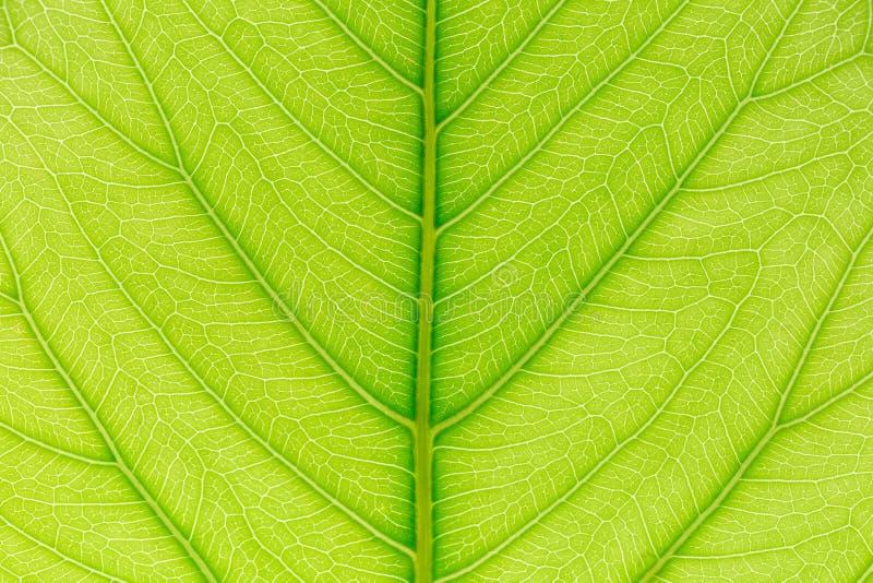Fondo verde di struttura del modello della foglia con luce dietro per il modello del sito Web, la bellezza di molla, l'ambiente e fotografie stock