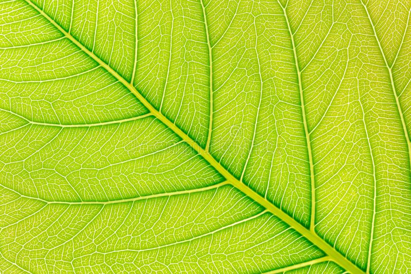 Fondo verde di struttura del modello della foglia con luce dietro per il modello del sito Web, la bellezza di molla, l'ambiente e immagini stock libere da diritti