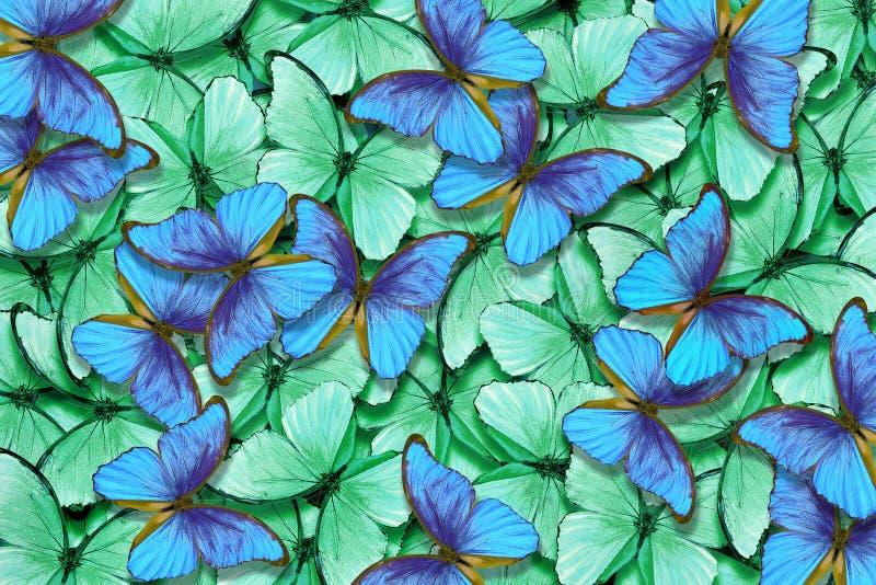 Fondo verde e blu di struttura di morpho delle farfalle Modello naturale Volo del fondo astratto delle farfalle fotografia stock