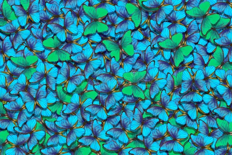 Fondo verde e blu di struttura di morpho delle farfalle Modello naturale Volo del fondo astratto delle farfalle immagini stock libere da diritti