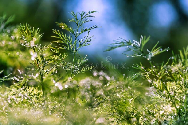 Fondo verde floreale naturale defocused e vago astratto con bello bokeh, rugiada su erba fotografie stock