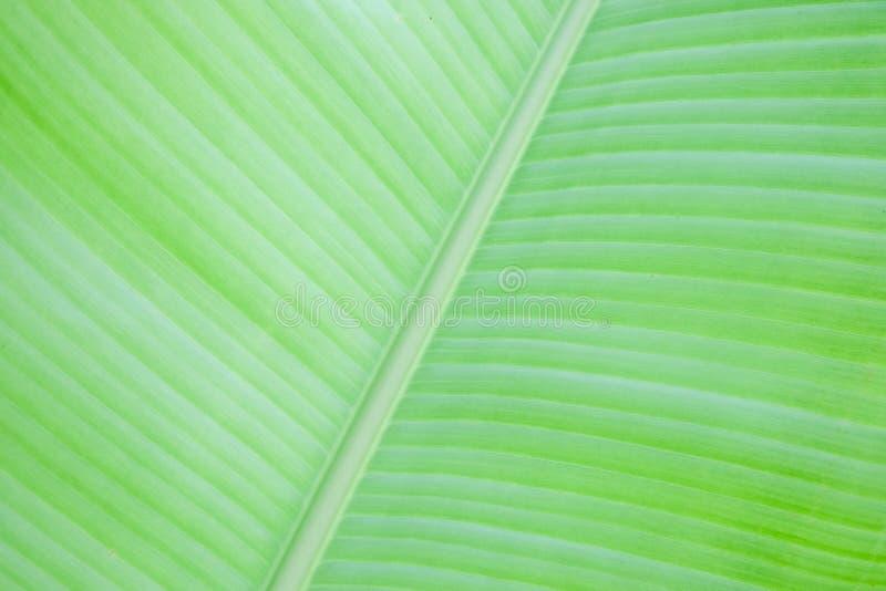 Fondo verde fresco de la textura de la hoja del plátano foto de archivo libre de regalías