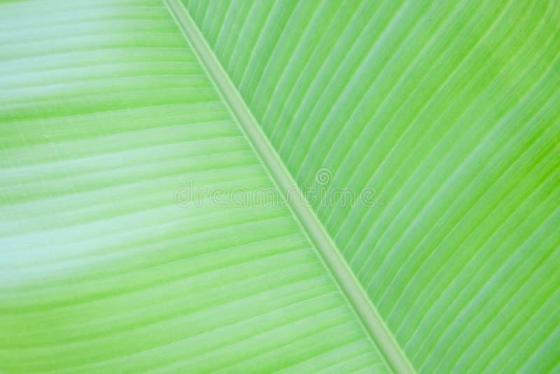 Fondo verde fresco de la textura de la hoja del plátano imagenes de archivo