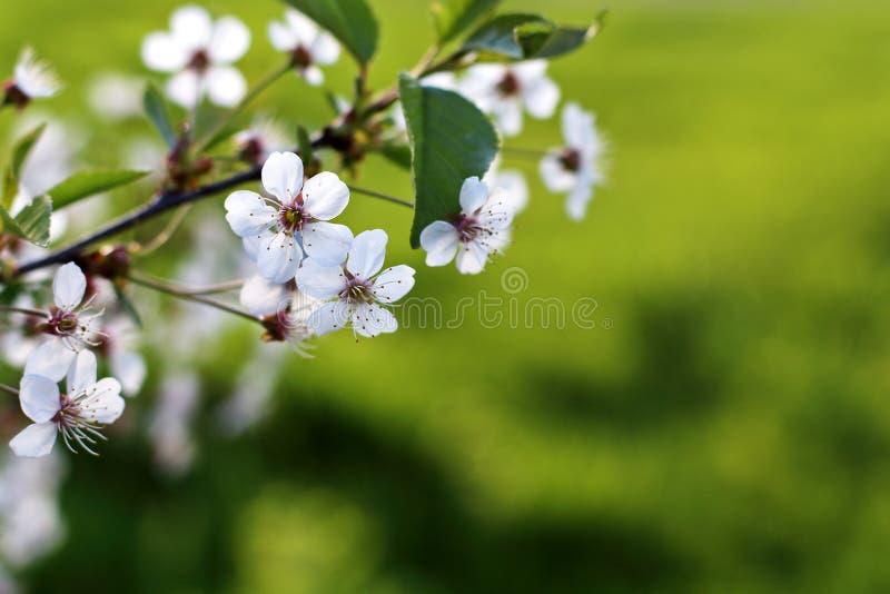 Fondo verde fresco della primavera Cherry Blossom orizzontale con la c fotografia stock libera da diritti